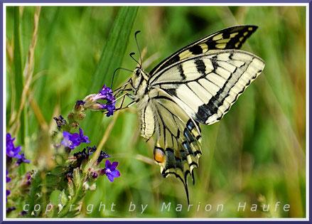 Hufeisenklee-Widderchen (Zygaena transalpina)