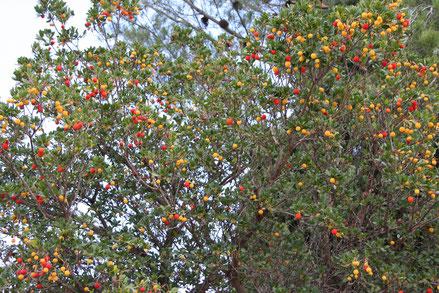 Bild: Erdbeerbaum in Les Taillades