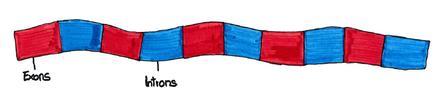 Abb. 1: Schemazeichnung der DNA mit Introns und Exons