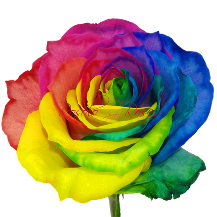 Rose Rainbow Fleurop