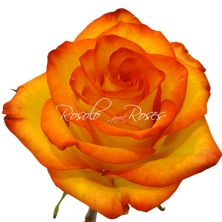 rose-fleurop-geneva-switzerland