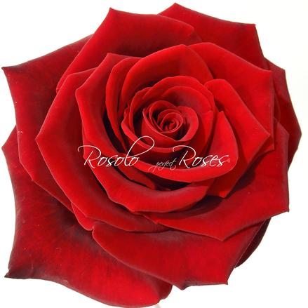 Rose-Fleurop-Suisse-Fleurs-Genève-Black-Magic