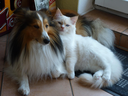 Red mitted Ragdoll Kater mit Hund
