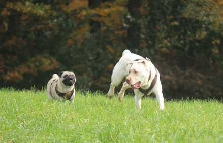Spielende Hunde Mops und Labrador im Gassi-Service