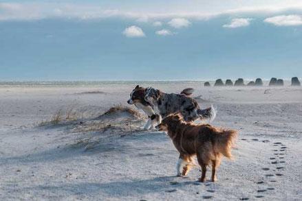 Australian Shepard im Wind am Strand von Hörnum / Sylt