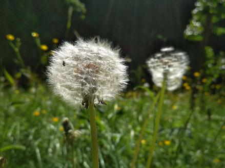 Heilpflanzen in der Naturheilpraxis Andrea Rölke