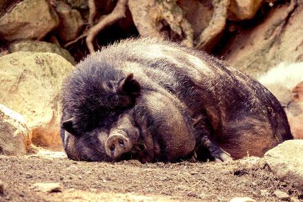 Bewegungsmuffel Schwein faul couch-potato