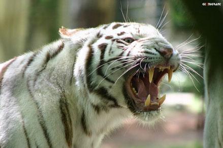 Сбежавший из зоопарка Тбилиси Тигр-Альбинос задрал человека