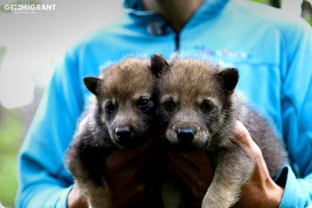 В колодце близ Тбилиси обнаружили два волчонка