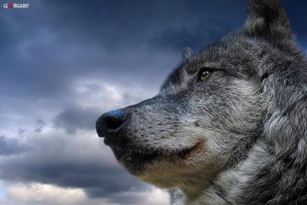 В центре грузинского города Гори застрелили волка