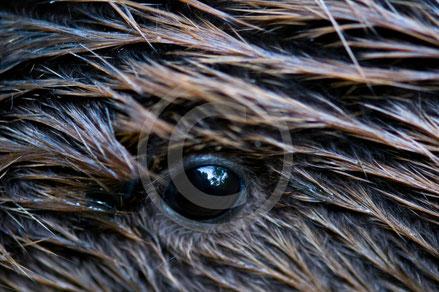Sehsinn, Augen, Sehstäbchen, schwarz weiss sehen, nachtaktiv