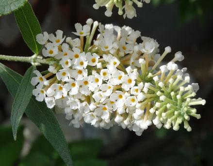 Bild: Zwerg-Schmetterlingsflieder für Balkon oder Terrasse