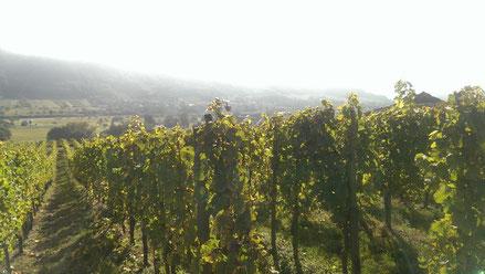 Riesling Wiltingen, Saarweingut Felix Weber, Saar-Riesling-Roots, Winzer aus Wiltingen, nahe Trier