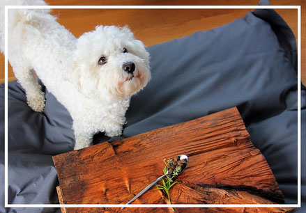 Hundefuttertest Wildborn Bichon frisé