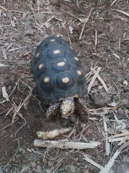 Schildkröte, eine von vielen