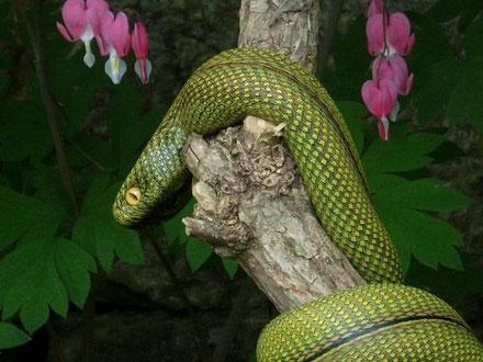 Schlange auf Wurzel,snake,Schlange aus Wachs,Schlange,Wachs-Schlange, Driftwood