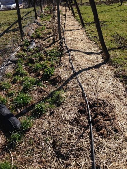 Links, zu wenig Mulch. Rechts genügend Mulch. Halb so schlimm wenn Gräser durchdrücken. Gräser sind sehr gute Wurzler und bauen die Bodenstruktur wieder auf. Pflanzen die im Mulch stehen, können oft sehr leicht gejätet werden.