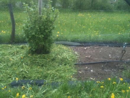 2013. Nach 7 Jahren Plastikdecke im Sommer, haben wir begonnen den Boden wieder zu Füttern. In diesem Fall mit 10cm dicker Auflage mit Grasschnitt im April