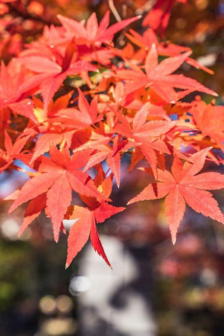 京都・真如堂の紅葉 もみじの葉っぱ