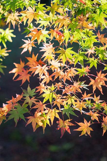秋の京都御苑のもみじの葉