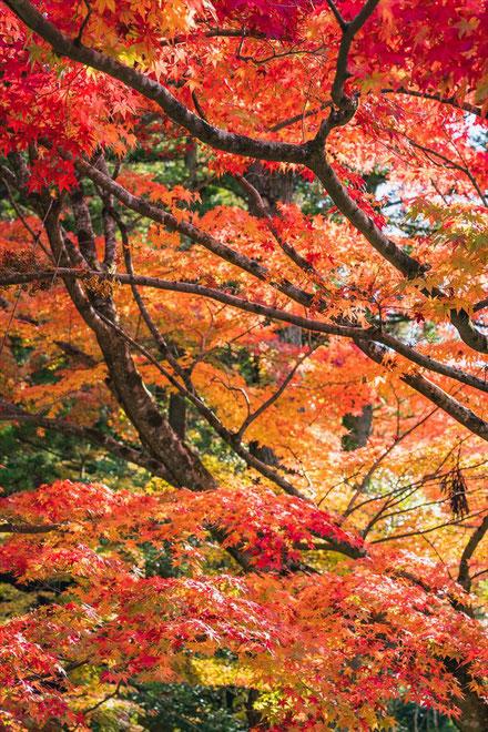 秋の今熊野観音寺の紅葉の木