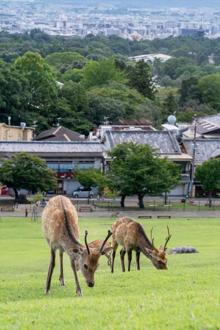 奈良の若草山の鹿