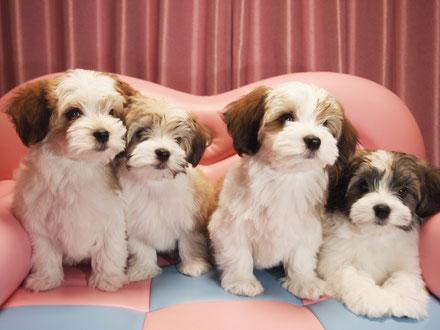 Havanese Puppy ブリリアントハバニーズで産まれたベビー