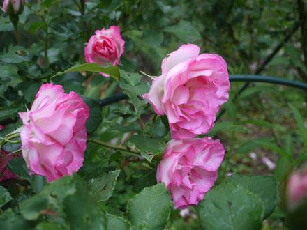 6月17日やや頑強にも見えるストロベリーアイス いつまでも咲いてます。