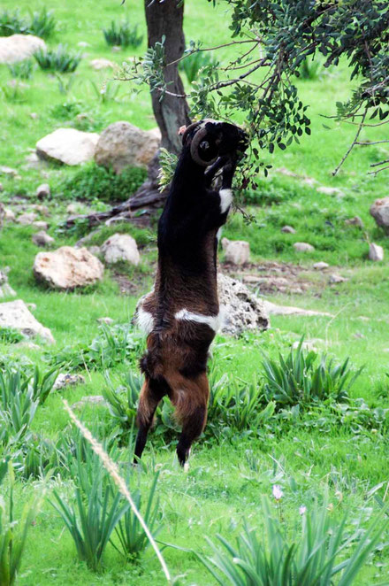 Goat ignores grass, goes for tree