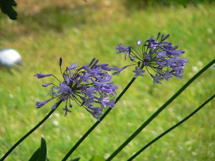 Allium im Garten von Wandelsinn