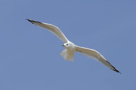 Möwenflug über Amrum