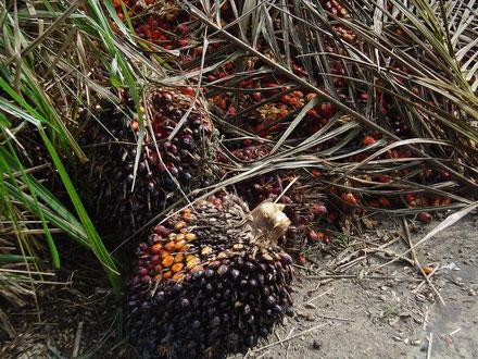 Palmölfrucht