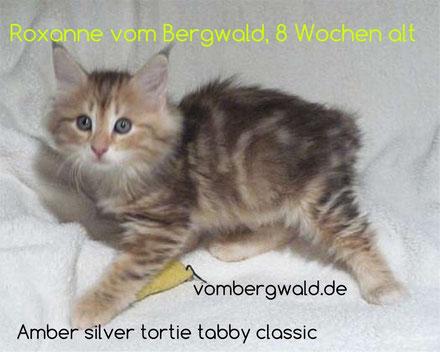 Roxxane vom Bergwald, 8 Wochen alt, amber silver tortie tabby classic, Foto: www.vombergwald.de