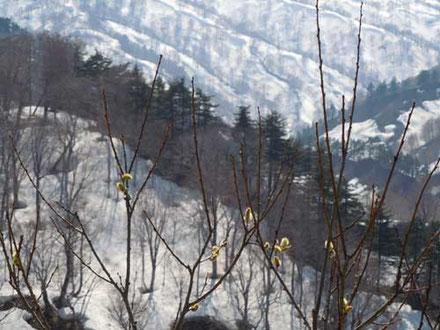 東北への移動中、雪景色の中のネコヤナギ。綺麗ですね。