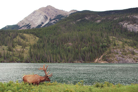 Wapiti, Jasper National Park