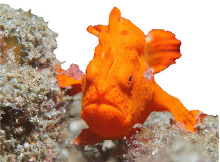 frogfish_plongee_bali_francophone_padang_bai