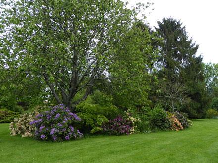 Rhododendrons 'Bernstein' et 'Blue Jade'  mai 2018