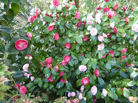 Camellia 'Dr Filippo Parlatore'