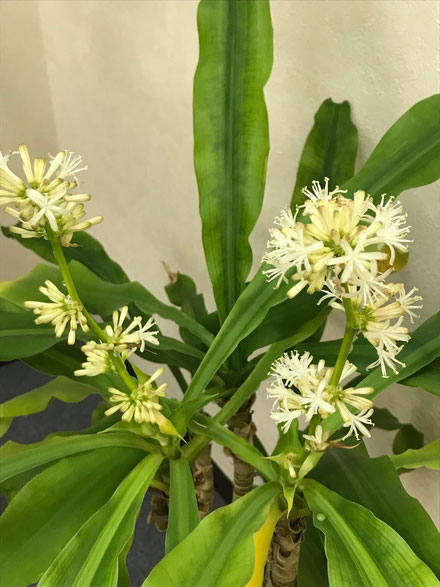 白くて、ヒアシンスのような香りのする小さな花です。