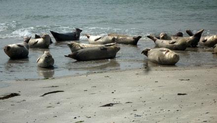Seehunde am Meer
