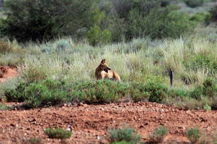 Ein Dingo kreuzt unseren Weg