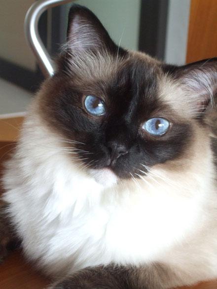 はなちゃん、♀3歳、ブルーの眼は宝石のようです