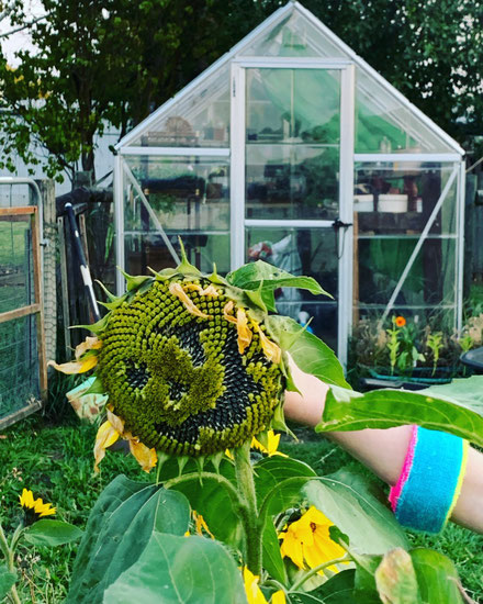 Growing sunflowers with kids.