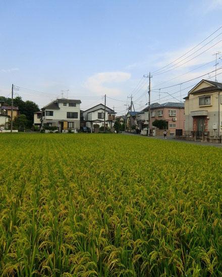 9月11日(2014) 住宅街の中の稲穂:調布市内の住宅街に田んぼが広がっている場所