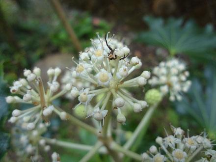 ヤツデの花はクモのおうち