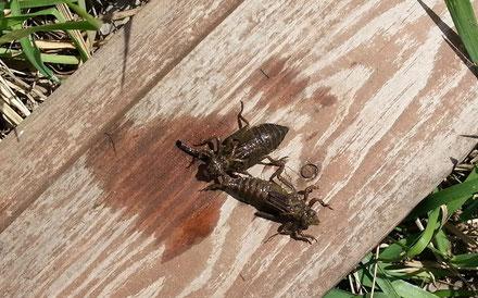 Личинки стрекозы-коромысла