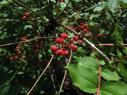 ドクウツギ (毒空木) トリカブト、ドクゼリと並んで日本三大有毒植物の一つとされる