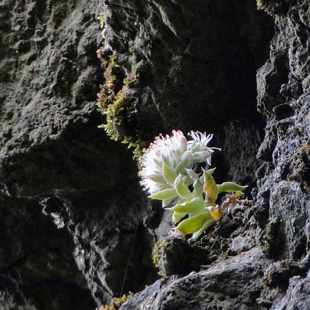 ツメレンゲと思われる植物も花を咲かせていた