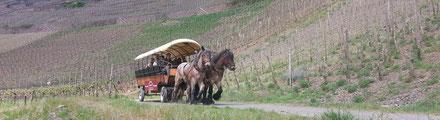 Zwei riesen Pferde ziehen die Planwagen durch die Weinberge der Ahr