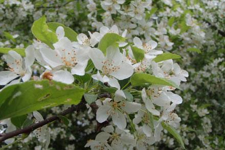 入笠山 エゾノコリンゴ